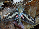 Gallium Sphinx (Hyles gallii) September 18, 2015