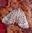 Copper Underwing (Amphipyra pyramidoides) September 24, 2003