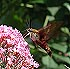 Hummingbird Clearwing (Hemaris thysbe) August 2, 2002