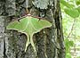 Luna Moth (Actias Luna) May 9, 2002