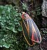 Painted Lichen Moth (Hypoprepia fucosa), July 17, 2002