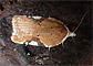 Acleris cervinana 3/20/12