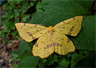 False Crocus Geometer (Xanthotype urticaria) June 18, 2015