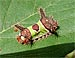 Saddleback Caterpillar (Sibine stimulea) 10/12/09