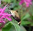 Snowberry Clearwing (Hemaris diffinis) August 12, 2004
