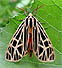 Virgin Tiger Moth (Grammia virgo) July 21, 2008