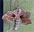 Walnut Moth (Laothoe juglandis) June 9, 2005