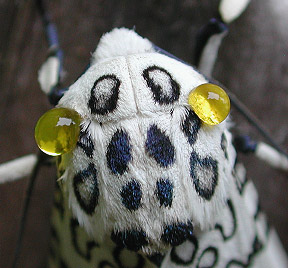 Giant Leopard Moth (Ecpantheria scribonia) and Leopard ...